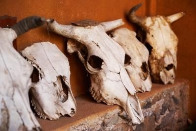 How to Clean Cow Skulls- hoping this works on my buffalo head