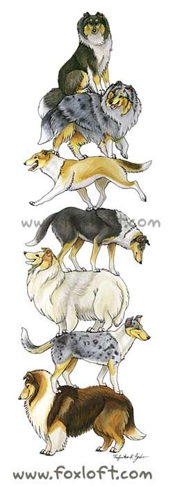 "Collie Stack!  ""Stacked"" dogs - collie style! Featuring both rough and smooth collies, from top to bottom: Tri-color, Blue Merle, Sable, Tri-color, White sable merle, blue merle, and mahogany sable."