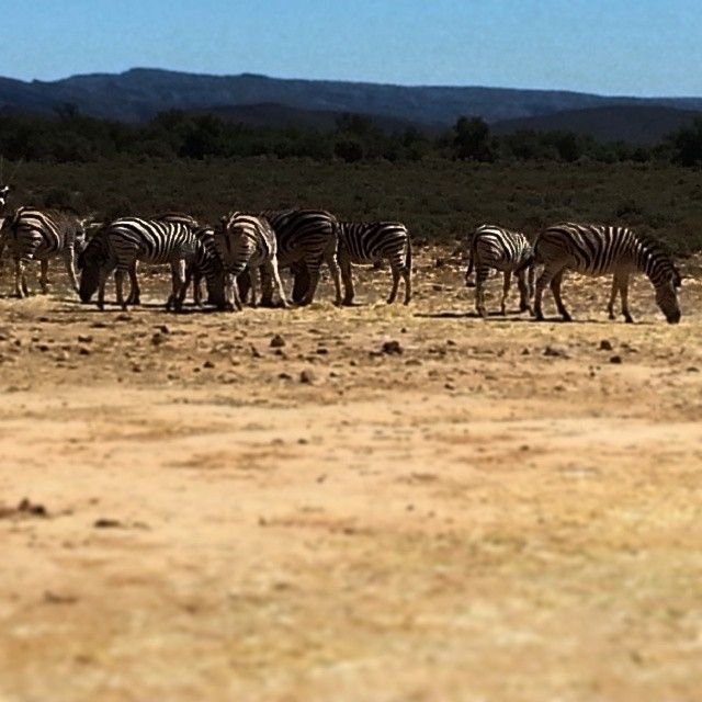 Safari in Cape Town at Inverdoorn Game Reserve- lostsa stripes...and zebras!