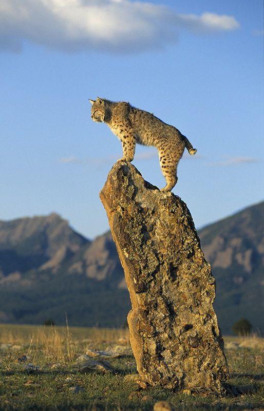 Bobcat by Peter Weimann on 500px Bobcat Rotluchs Lynx rufus N,S,E,W America
