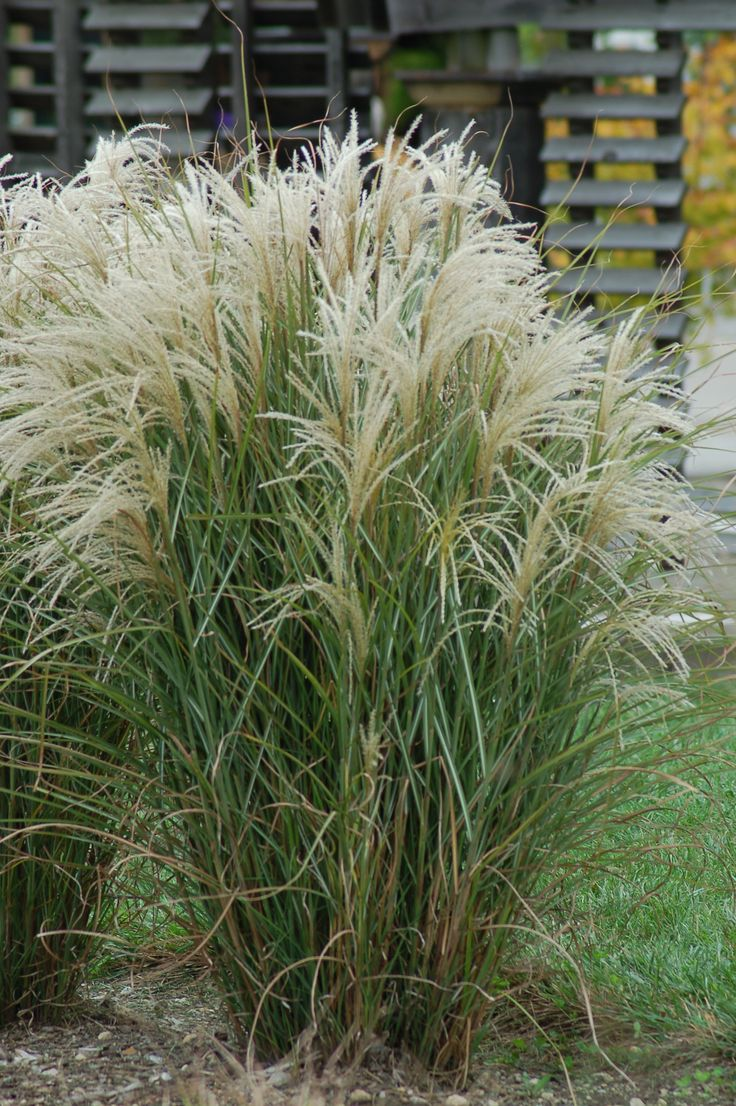 17 best images about ornamental grasses on pinterest for Long grass in garden