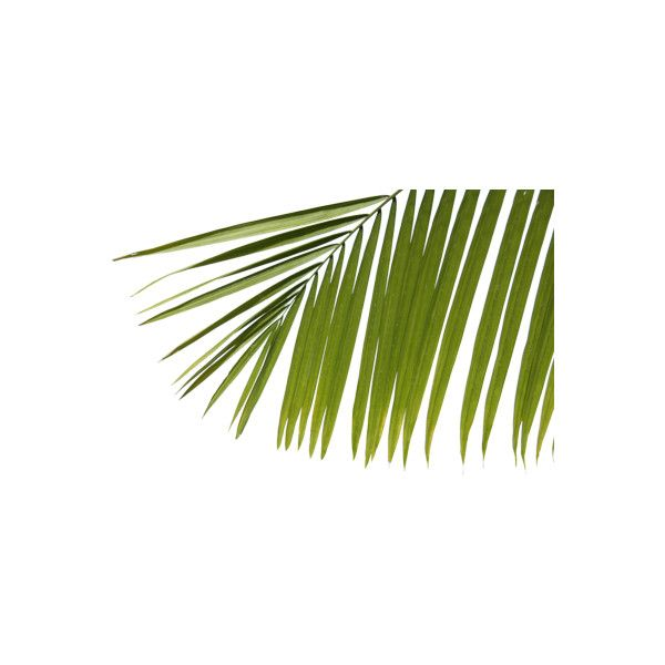 PSD Detail   palm tree   Official PSDs ❤ liked on Polyvore
