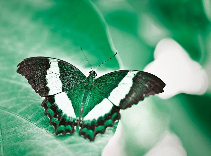 """Alpina Feine Farben No. 09 – Flügel in Smaragd. Dass die Natur der wahre Meister der Farben ist, beweist sie mit der Pracht der Schmetterlinge. Die Flügel des  """"Grüngestreiften Schwalbenschwanz"""" schimmern in irisierendem Smaragdgrün. Diese extravaganten Grün-Facetten entstehen auf den Schmetterlingsflügeln durch spezielle Schuppenstrukturen, die nur grüne Lichtanteile reflektieren. #Design #DIY #Farbe #Einrichten #Wohnen #Inspiration #Wandgestaltung #Premium #Innenfarbe #grün"""