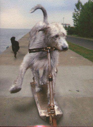 Postcard showing Irish Wolfhound on Scooter
