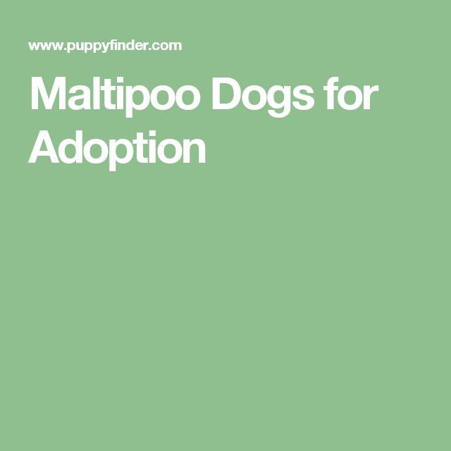 Maltipoo Dogs for Adoption