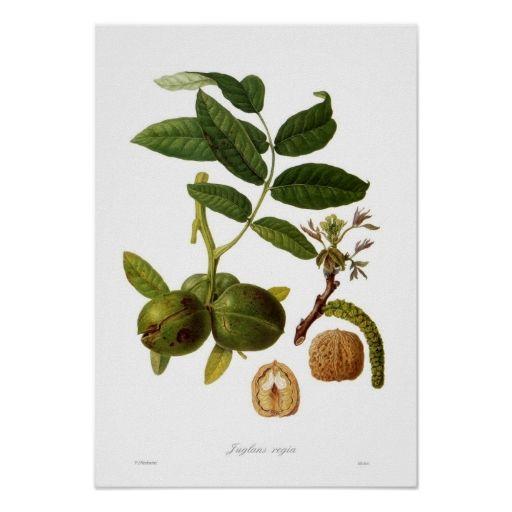 walnut juglans regia poster - Natrliche Hickory Holzbden