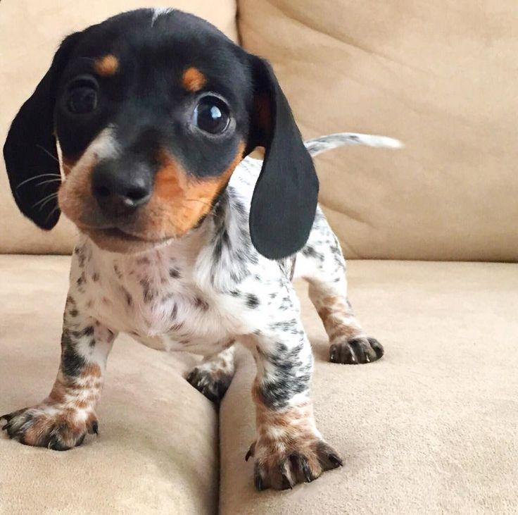 http://bgdphotooftheday.com/. Leuk Weinig Puppy Dit schattige kleine puppy ziet er zo schattig ik ben er vrij zeker dat hij gaat krijgen wat hij wil. Hou van die plekken.