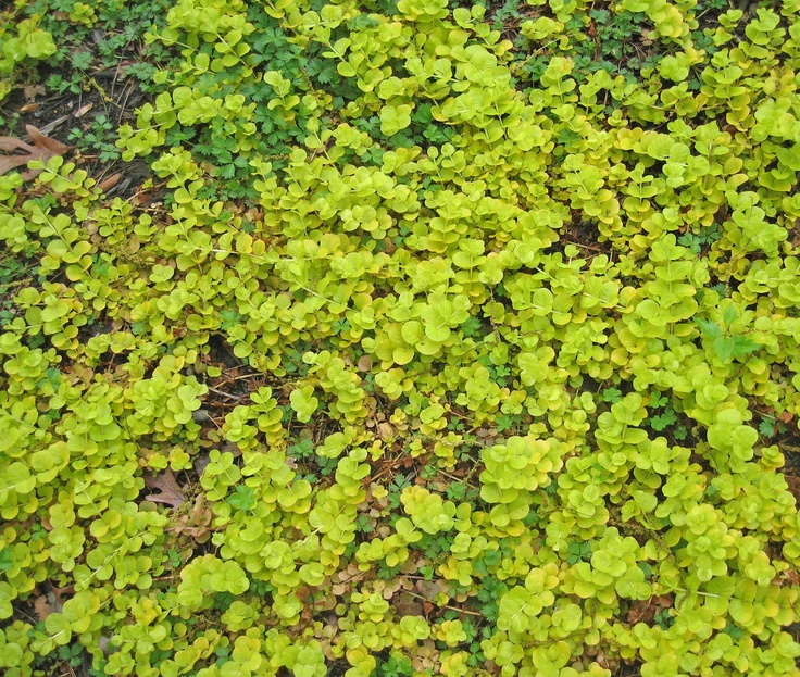 Creeping jenny plant info how to grow creeping jenny in for Landscaping ground cover plants