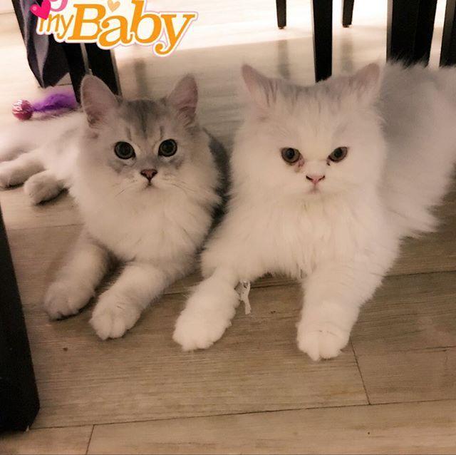씨엘과 루비. 루비가 아퍼서 입원했다 퇴원했어요. 팔에 수액 맞아서 붕대 감고...빨리 나아야 할텐데😿 . Ciel and Ruby. Ruby is sick 😢😢 I hope that she is completely cured . #ruby #ciel #cat #catstagram #persian #루비 #씨엘 #페르시안 #고양이