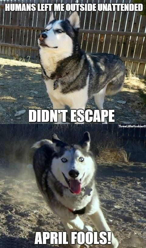 Funny Siberian Husky Quotes 25 Best Husky Quotes On Pinterest