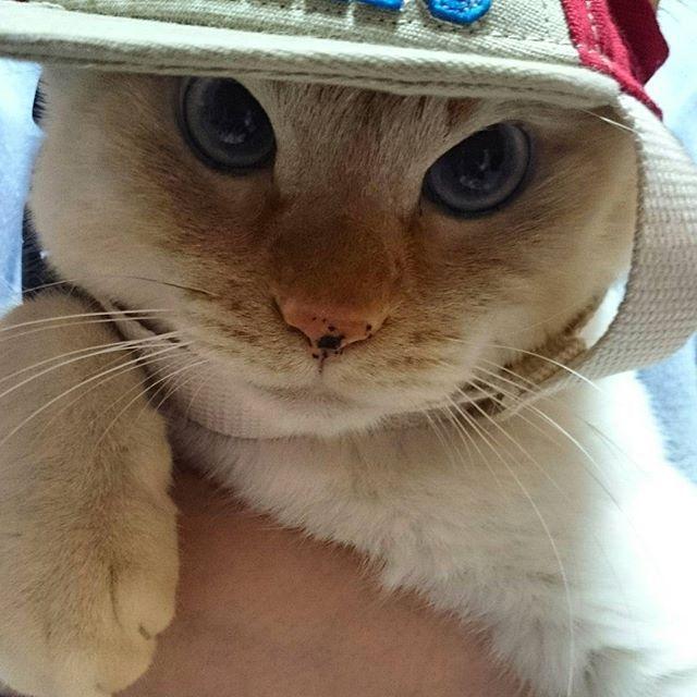無理矢理ボウシ😅  #ふわもこ部#ねこら部#雄猫#男の子#溺愛#愛猫 #蒼天の笹かま猫#可愛い#愛しい#家族#family#癒し#甘えん坊#cat#whitecat#cute#kawaii#blueeyes#catlover#love#無理矢理#ボウシ#嫌がる#顔が可愛くて#お手て#カメラ目線#レオ#GW