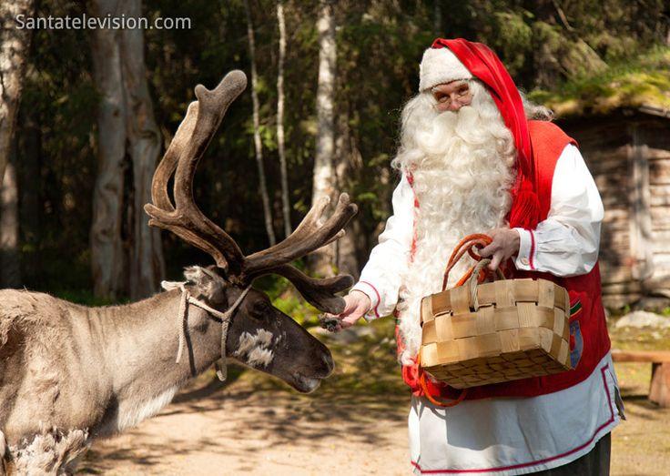 Santa Claus feeding reindeer in summer in Finnish Lapland