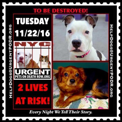 """2 BEAUTIFUL LIVES TO BE DESTROYED 11/22/16  @ NYC ACC **SO MANY GREAT DOGS HAVE BEEN KILLED: Puppies, Throw Away Mamas, Good Family Dogs. This is a HIGH KILL """"CARE CENTER"""" w/ POOR LIVING CONDITIONS.  Please Share:  To rescue a Death Row Dog, Please read this: http://information.urgentpodr.org/adoption-info-and-list-of-rescues/"""