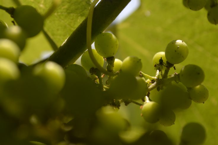 Pea size grapes,  mid-July 2014