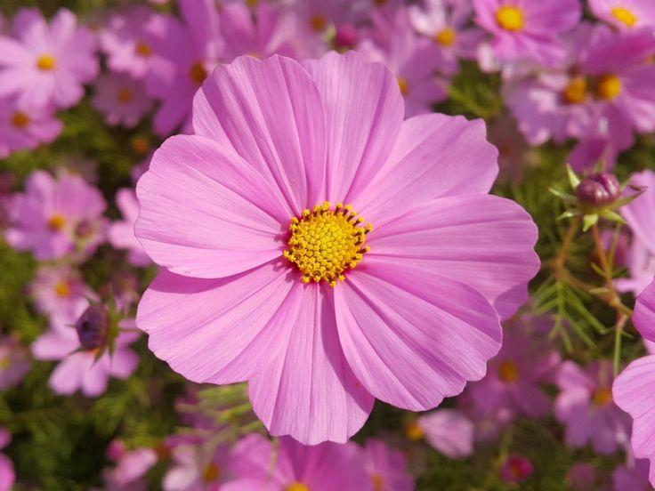 Azegynyári növények tökéletes választásnak bizonyulhatnak a sietős kertészek számára. Bemutatunk 10 olyan virágot, amely hamar megörvendeztet szépségével....