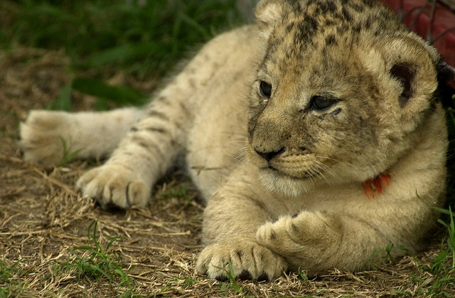 Got to hold 7 week old cubs at Seaview Lion Park near Port Elizabeth, South Africa