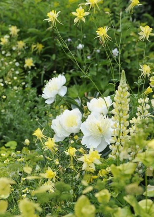 Yellow and White Combination. Lupine, Columbine, and Peony.