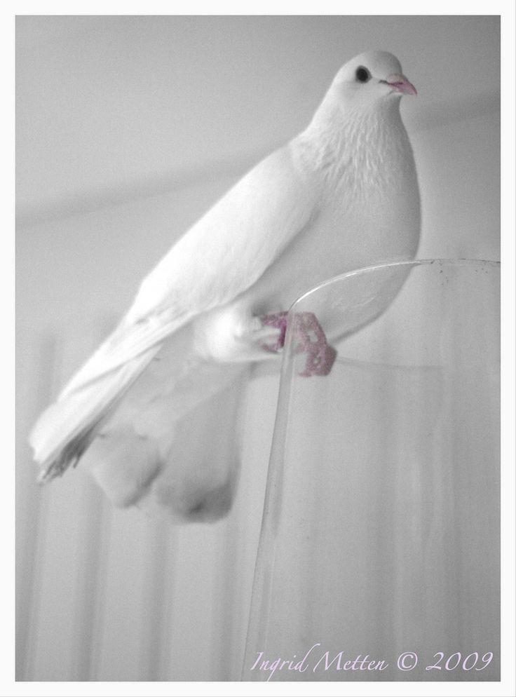 White dove on my porch