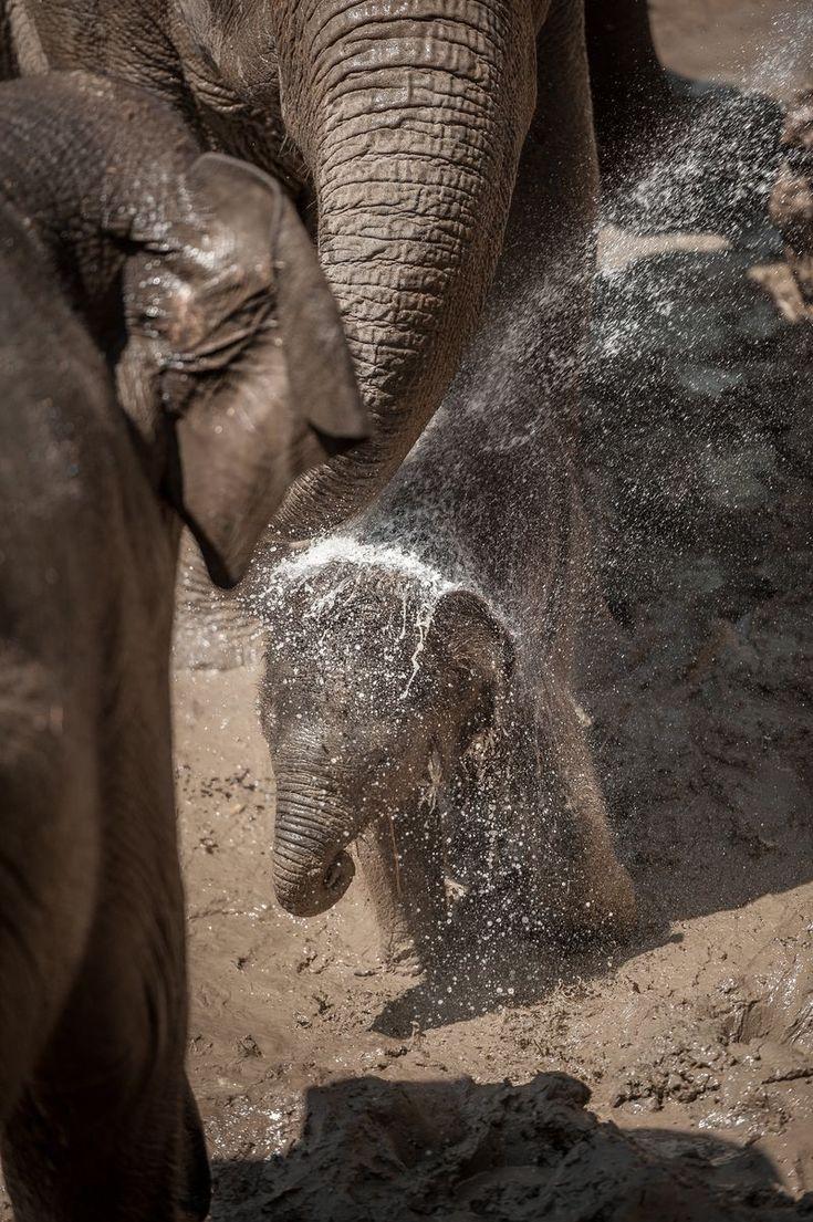 Baby/Family/Elephant/Calf/ Water/Play/Live/Fun/Stay cool/ I Love Elephants!
