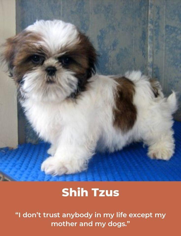 Shih Tzu Puppy Shihtzu Shihtzusofinstagram Shihtzulovers