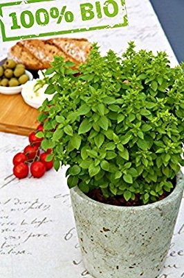 Köstliches Griechisches Bio Basilikum Winterhart Ocimum Basilicum var. minimum Frische Baumschul Qualität