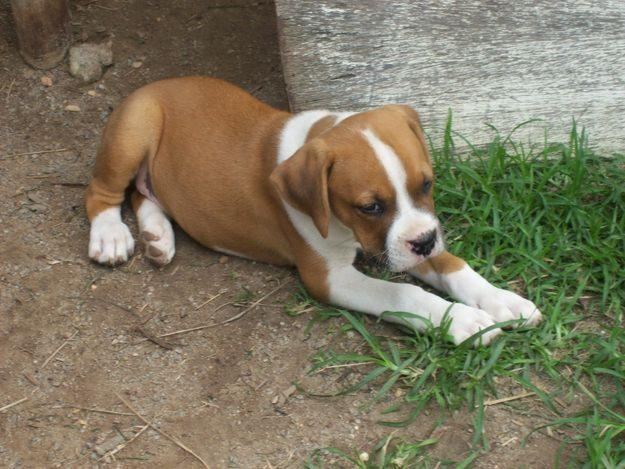 boxer pitbull puppy. i want her so bad!!!!