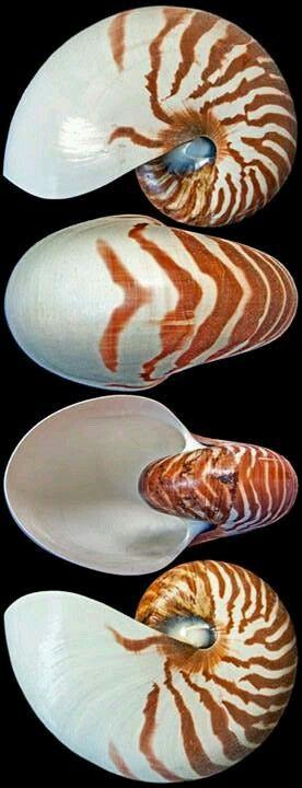 Nautilus pompilius Linnaeus