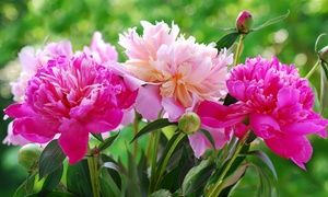Groupon - Preorder: Peony Roots (3-Pack). Groupon deal price: $12.99