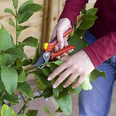 Der Zitronenbaum verliert Blätter? Das sind die Ursachen