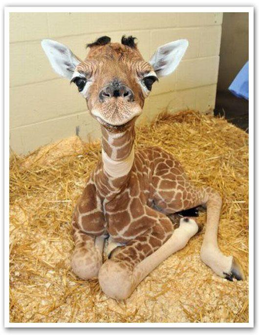baby giraffe! soooooo cuteee lil baby awwwww