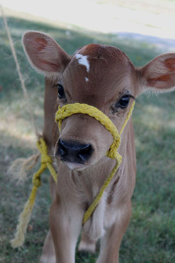 Brown baby cows - photo#4