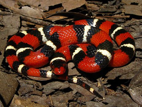 King Snake | All about snake pictures