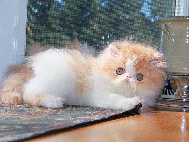 Alfenloch Impresario Red Tabby White Male Persian Kitten Persainkittens Persian Kittens Persian Cat Persian Cat White