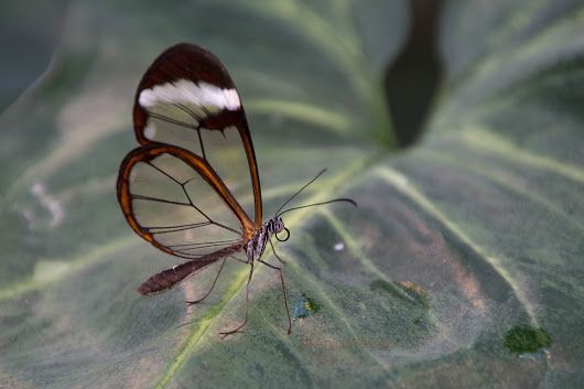 Greta oto Glasswinged butterfly - Glasvleugelvlinder In the Orchideeënhoeve, for more: http://anjawessels.nl/?p=3437 Camera: Canon EOS 650D/Rebel T4i... - Anja Wessels Photography - Google+