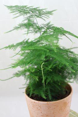 Asparagus setaceus (Zierspargel)