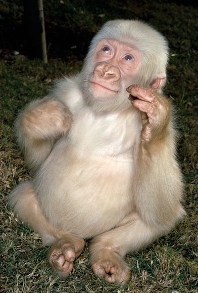 """Copito (""""Snowflake"""") was the only known albino gorilla, he lived in Barcelona Zoo from 1966 until his death in 2003."""