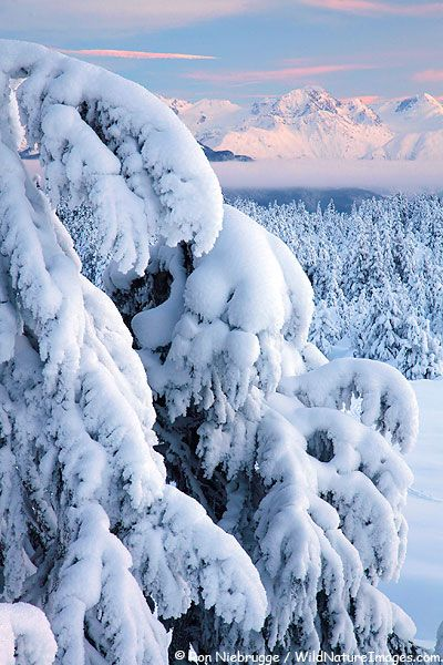Christmas Morning 2010 by Ron Niebrugge. Snowy trees, Chugach National Forest, Alaska.