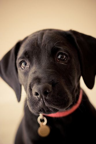 BOXADOR- I've decided this is the kind of doggie that I need! Boxer and Labrador mix :)