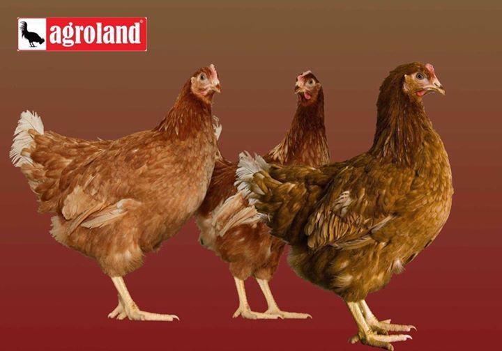 Puicute ouatoare de 16 saptamani la pretul de 28 lei livrare pe 17.01 Vaccinate sanatoase gata de productie bogata de oua!  Deoarece furnizorii au anuntat scumpirea puicutelor urmatoarele livrari vor avea pret ceva mai mare.  Sunati la cel mai apropiat magazin #Agroland pentru plasarea comenzii dumneavoastra: http://ift.tt/2dCiDrK #puicuteouatoare #agroland