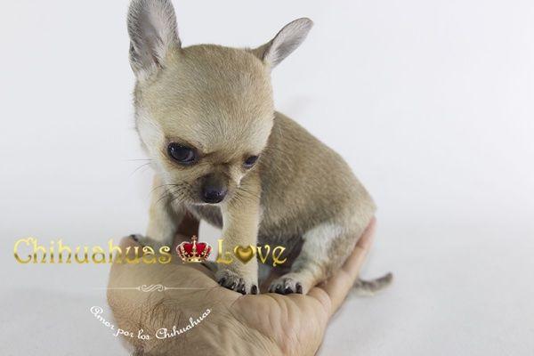 Chihuahuas Love - Que Me Han Dado y Quitado Los Chihuahuas. Chihuahuas. 2ª Entrega.