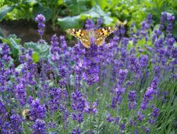 Lavendel schneiden – Wann und Wie?