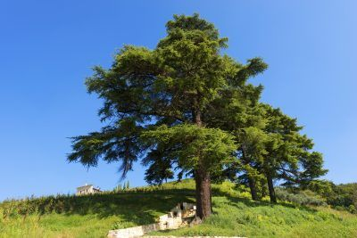 Cedar Of Lebanon Tree: How To Grow Lebanon Cedar Trees - The cedar of Lebanon tree is an evergreen with beautiful wood that has been used for thousands of years. If you are interested in growing cedar of Lebanon trees, this article has tips about cedar of Lebanon care.