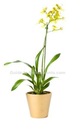 oncidium orchid, oncidium care