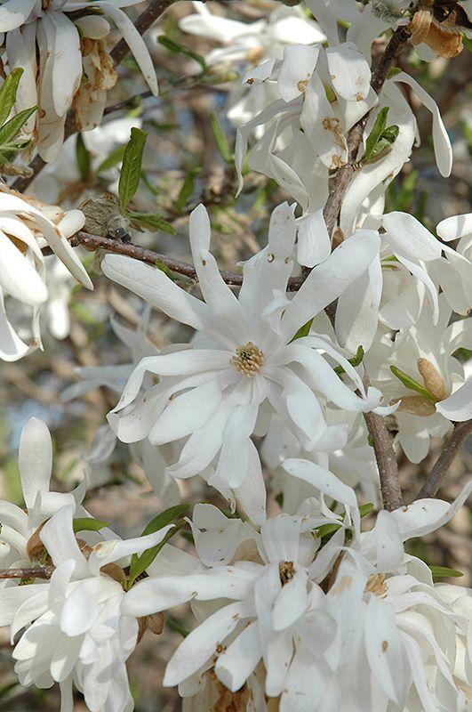 click to view fullsize photo of royal star magnolia clump magnolia stellata u0027