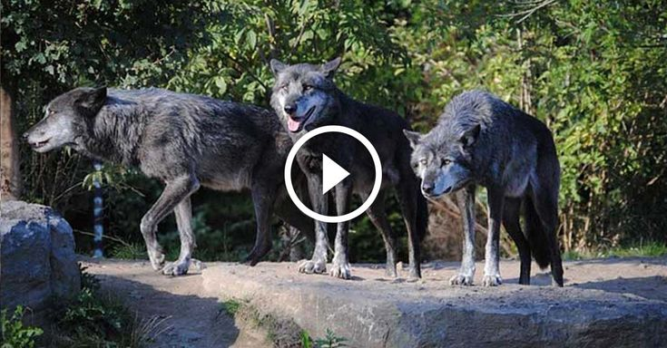 When wolves were finally reintroduced to Yellowstone National Park the ecological results were remarkable. #Eco
