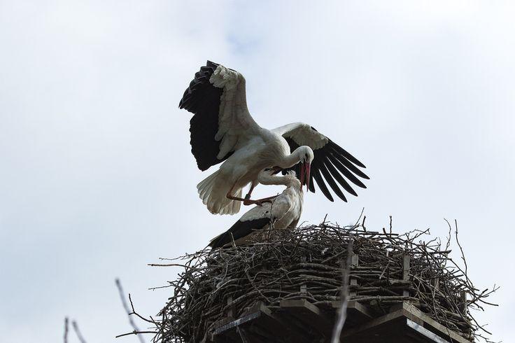 K-PIXEL-N posted a photo:  Die Störche (Ciconiidae) sind eine Familie der Schreitvögel, die mit sechs Gattungen und 19 Arten in allen Kontinenten außer Antarktika verbreitet ist. Charakteristisch für diese Vögel sind der lange Hals, die langen Beine und der große, oft langgestreckte Schnabel. Alle Störche sind Fleischfresser, die Ernährung variiert aber je nach Art. Der in Europa bekannteste Storch ist der Weißstorch (Ciconia ciconia), andere bekannte Vertreter dieser Gruppe sind…