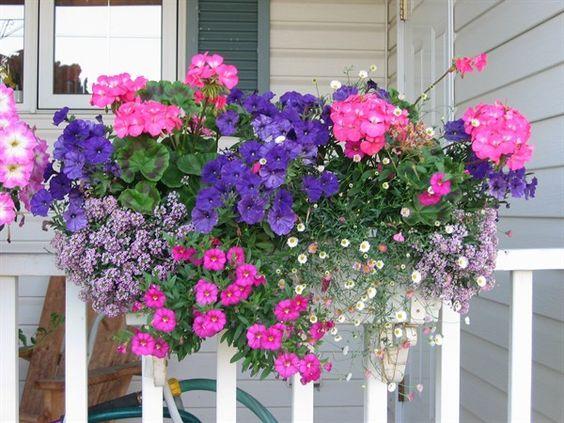 Growing Geraniums in Pots   Pink Seed Geraniums, Blue Picobella Petunias, Purple Alyssum, Spanish ...:
