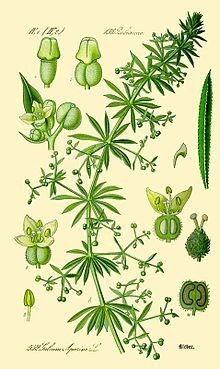 Gallium aparine, Bedstraw, Cleavers  Ethnobotanist Dr. James A. Duke recommends a dosage of one ounce of dried leaves to a pint of water, 1 to 2 teaspoons of tincture, or 2 to 4 grams of the dried herb in a cup of boiling water, three times daily.  As a tea, the plant acts medicinally as a diuretic, lymphatic, and detoxifier.   link to Wikipedia article