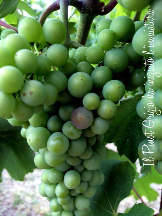 Pinot Grigio grapes at the onset of Veraison (ripening of the grapes).