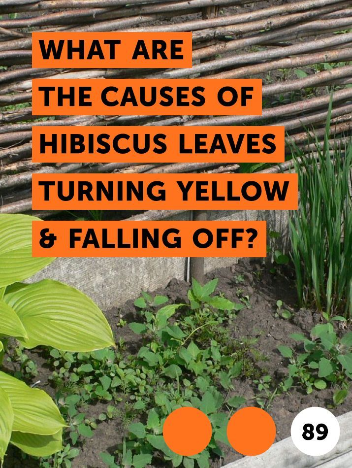 Learn What Are The Causes Of Hibiscus Leaves Turning Yellow Falling Off How To Guides Tips And Tricks Hibiscus Leaves Hibiscus Plant Hibiscus Tree